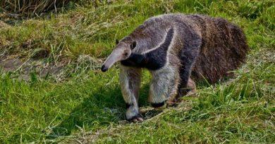 Descubren nuevas especies de osos hormigueros en Brasil